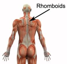 Rhomboid muscles.